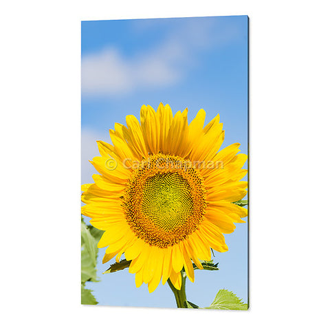 3444  Flowering sunflower in summer morning sun acrylic wall art photo print
