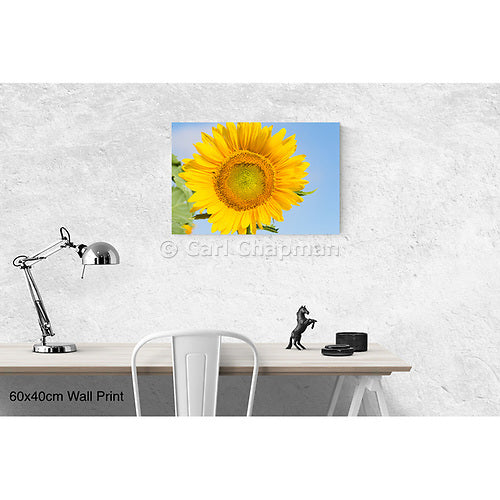 3443  Flowering sunflower in summer morning sun acrylic wall art photo print
