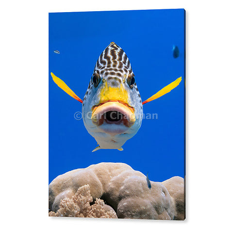 1182 Diagonal banded Sweetlips fish Plectorhinchus lineatus acrylic wall art photo print