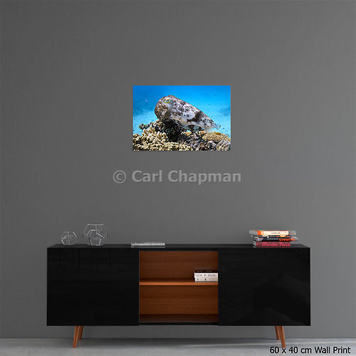 1086 Reef or broadclub cuttlefish on coral reef acrylic wall art photo print
