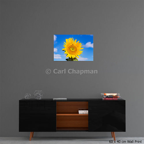 3428 Bee pollinating a flowering sunflower acrylic wall art photo print