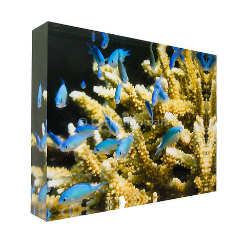 0942 Blue green Damselfish on coral great barrier reef acrylic block photography print