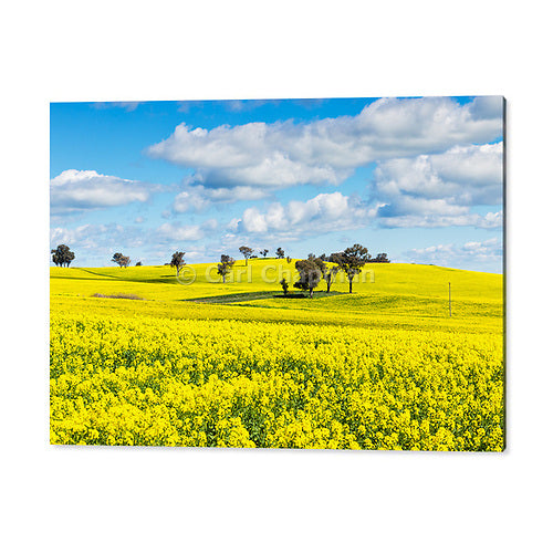 2094 Trees on hill in a field  of flowering canola crop acrylic wall art photo print