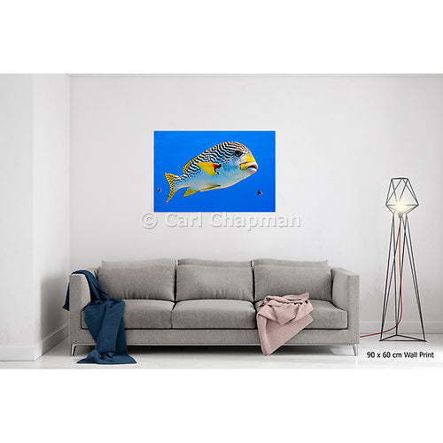 1173 Diagonal banded Sweetlips fish Plectorhinchus lineatus acrylic wall art photo print