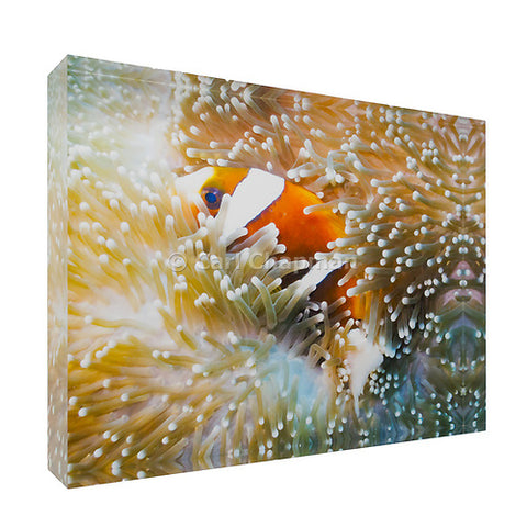 1149 Great Barrier Reef Anemonefish in Sea Anemone acrylic block photography print