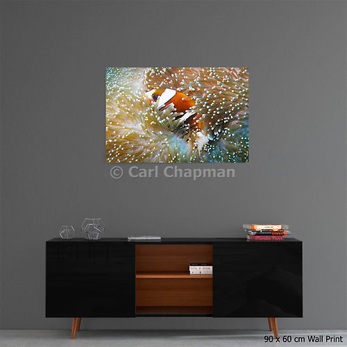 1149 Great Barrier Reef Anemonefish in Sea Anemone acrylic wall art photo print