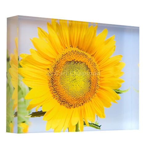 3443 Flowering sunflower in summer morning sun acrylic block photography print