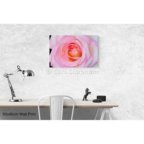 0831 Princess de Monaco pink rose flower floral wall art photo print