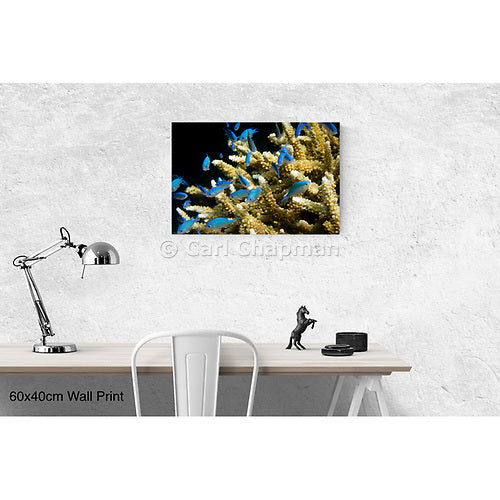 0942 Blue green Damselfish on coral great barrier reef acrylic wall art photo print
