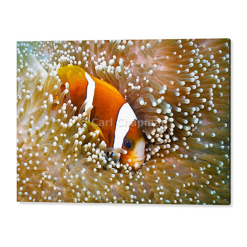 1151 Great Barrier Reef Anemonefish in Sea Anemone acrylic wall art photo print