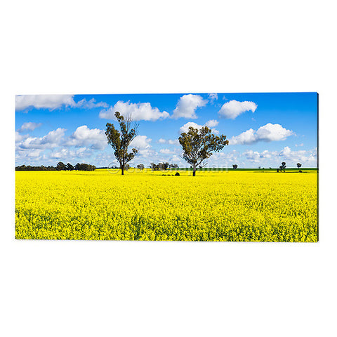 3569 Trees in a field of flowering canola crop acrylic wall art photo print