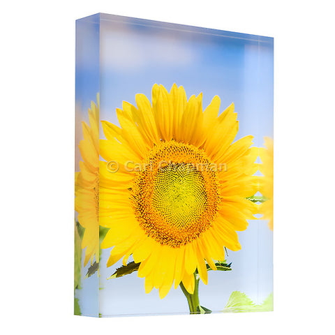 3444 Flowering sunflower in summer morning sun acrylic block photography print
