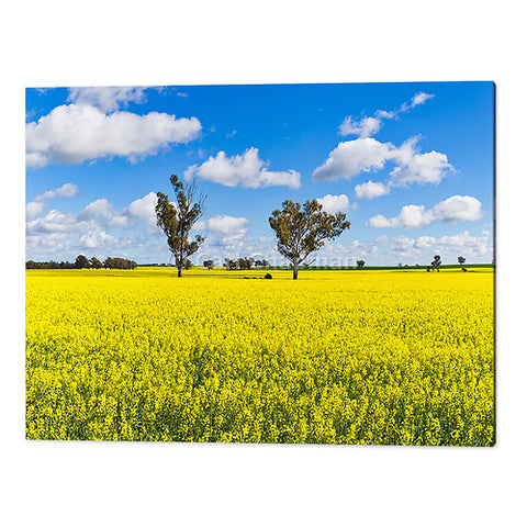 3568 Trees in a field of flowering canola crop acrylic wall art photo print