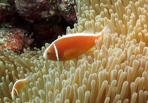 V0021 Pink Anemonefish and Magnificant sea anemone Great Barrier Reef - Stock Video