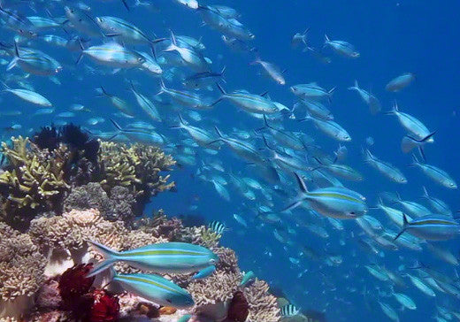 V0024 Gold Banded Fusilier fish schooling on tropical Great Barrier Reef - Stock Video