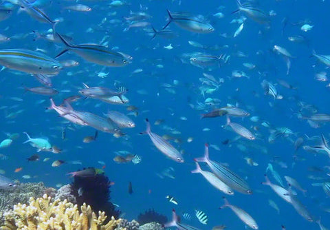 V0025 Gold Banded Fusilier fish schooling on tropical Great Barrier Reef - Stock Video