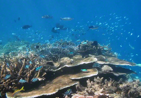 V0031 Schooling Fish on tropical coral Great Barrier Reef - Stock Video