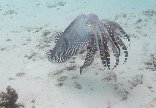 V0036 Fighting Reef Cuttlefish (sepia latimanus) Great Barrier Reef - Stock Video