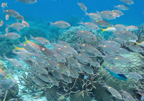 V0042 Gold-lined Sea Bream fish (gnathodentex aurolineatus) Great Barrier Reef - Stock Video