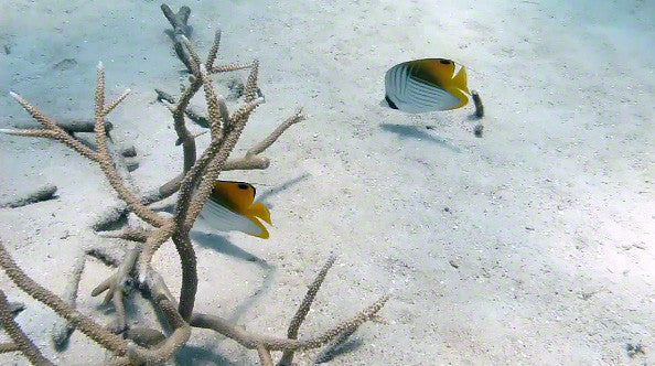 V0049 Pair of Threadfin butterfly fish (chaetodon auriga) Great Barrier Reef - Stock Video