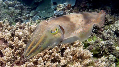 V0050A Various Reef or Broadclub Cuttlefish (sepia latimanus) Great Barrier Reef - Stock Video