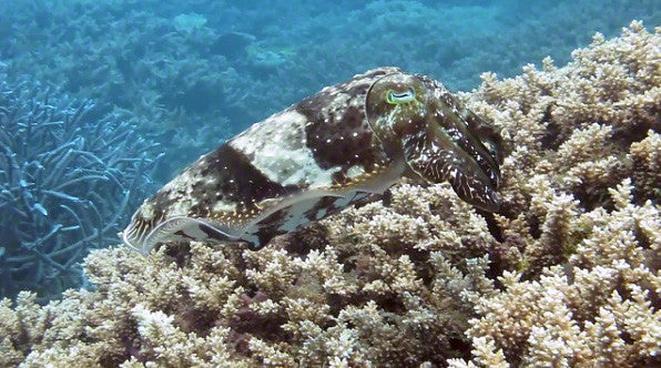 V0050B Various Reef or Broadclub Cuttlefish (sepia latimanus) Great Barrier Reef - Stock Video