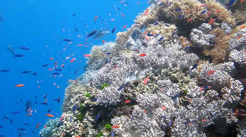 V0052 Orange and Purple Anthias fish swimming over soft coral Great Barrier Reef - Stock Video