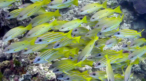 V0053 Yellowstripe snapper (Lutjanus kasmira) Great Barrier Reef - Stock Video