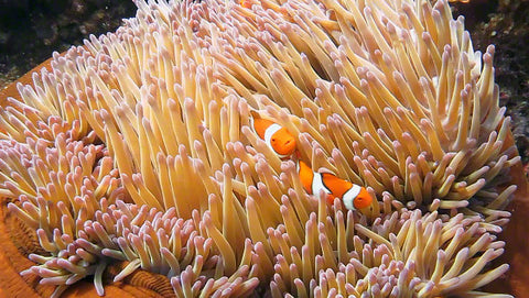 V0060 False Clown Anemonefish in Magnificent Sea Anemone Great Barrier Reef - Stock Video