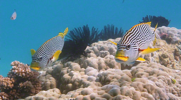 V0065A Diagonal banded Sweetlips fish (Plectorhinchus lineatus) Great Barrier Reef - Stock Video