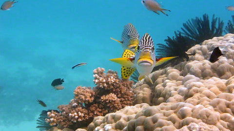V0065B Diagonal banded Sweetlips fish (Plectorhinchus lineatus) Great Barrier Reef -Stock Video