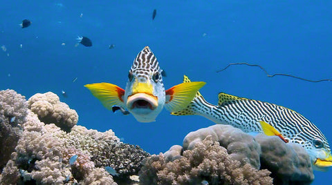 V0069 Diagonal banded Sweetlips fish (Plectorhinchus lineatus) Great Barrier Reef - Stock Video