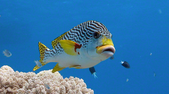 V0070 Diagonal banded Sweetlips fish (Plectorhinchus lineatus) Great Barrier Reef - Stock Video