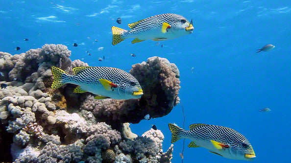 V0071 Diagonal banded Sweetlips fish (Plectorhinchus lineatus) Great Barrier Reef - Stock Video