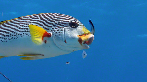 V0074 Diagonal banded Sweetlips fish (Plectorhinchus lineatus) Great Barrier Reef - Stock Video