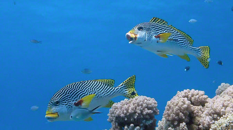 V0075 Diagonal banded Sweetlips fish (Plectorhinchus lineatus) Great Barrier Reef - Stock Video