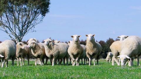 V0080 Flock of white suffolk sheep in farm paddock