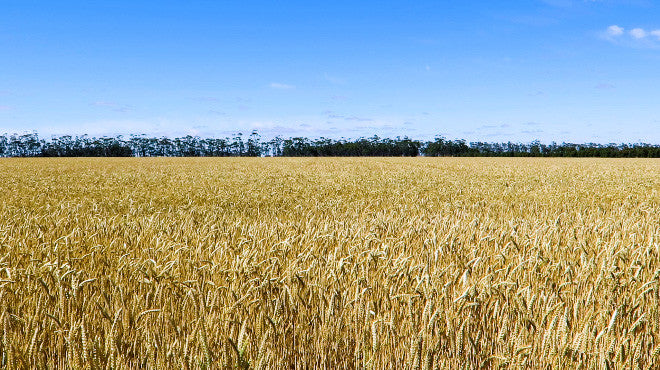 V0096 Field of golden wheat before harvesting on a farm - Stock Video