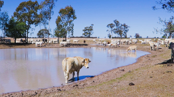 V0099 Brahman cross (Bos Indicus) cattle in outback farm paddock around dam - Stock Video
