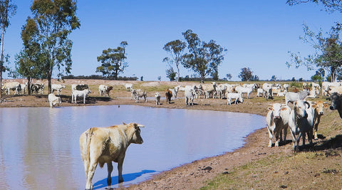 V0100 Brahman cross (Bos Indicus) cattle in outback farm paddock around dam - Stock Video