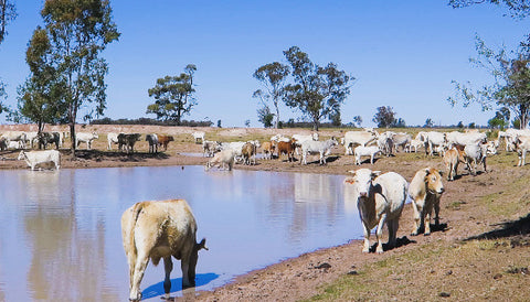 V0101 Brahman cross (Bos Indicus) cattle in outback farm paddock around dam - Stock Video