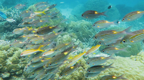 V0129 Gold-lined or striped large-eye sea bream fish Great Barrier Reef - Stock Video