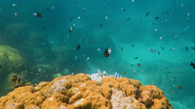 V0132 Various chromis damselfish schooling around coral Great Barrier Reef- Stock Video