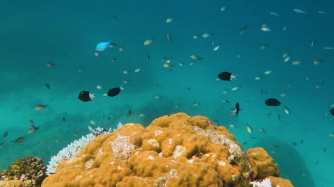 V0136 Various chromis damselfish schooling around coral