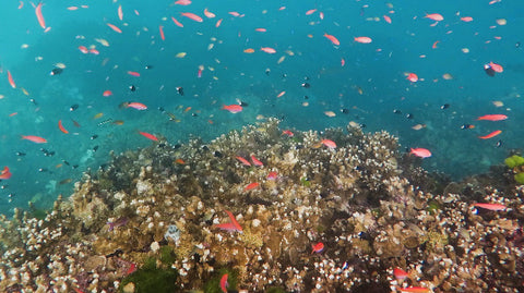 V0143 Various Anthias fish schooling around coral Great Barrier Reef - Stock Video