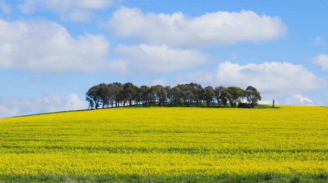 V0165 Trees on hill overlooking canola crop - Stock Video