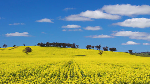 V0187 Trees on hill in a field of flowering canola crop - Stock Video