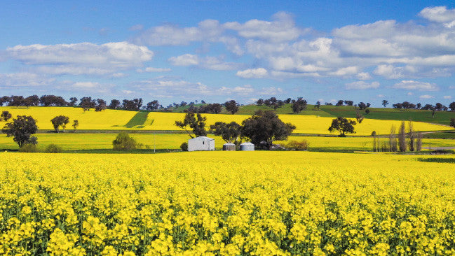V0195 Barn and silos in a field of flowering canola crop - Stock Video