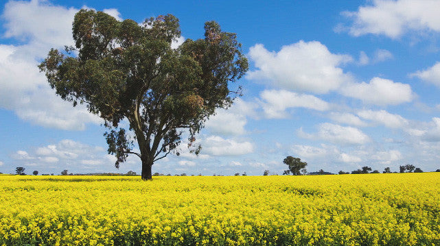 V0200 Tree in a field of flowering canola crop - Stock Video