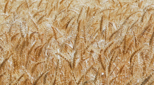 V0214 Heads of golden barley before harvesting on a farm - Stock Video